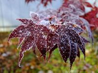 Frost on Japanese Red Maple