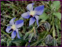 Borage ---wild flower
