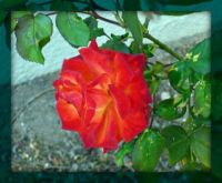 Sun drenched rose . . . . .