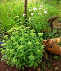 Sedum in the rougher side of the garden.