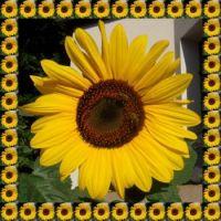 Slunečnice...  Sunflower...