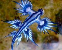 Blue dragon snail