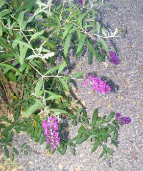 Royal Red Butterfly Bush 2