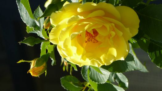 Schöne Gelbe Rose