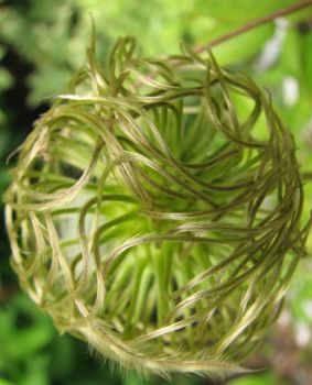 Clematis seed cluster