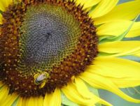 sunflower with a little beeeee