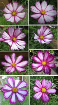Cosmos or Cosmea Collage # 3   (a bit of a challenge to solve, sorry☺)