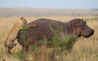 Hippo versus Lioness