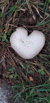 Heart Mushroom