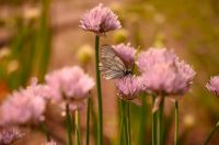 cabbage butterfly & onion blooms