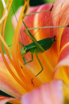 Theme, flowers: grasshopper in lily