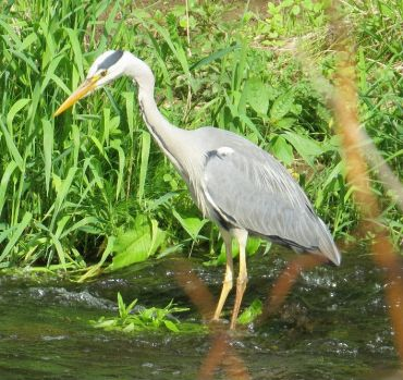 Our resident grey heron