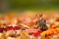 Squirrels_Autumn_Foliage_476145