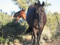 Wild Horses in Nevada 117_1730