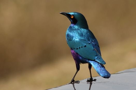 Greater Blue-eared Starling - Africa