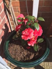 Camellia in memory of A.