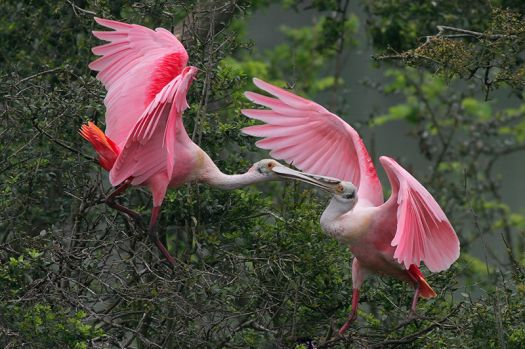 Roseate Spoonbill by Greg Lavaty