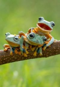 REINWARDT'S FLYING FROGS