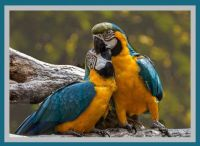 Blue and Yellow Macaw Parrot , Ara ararauna , also known as the Blue and Gold Macaw.