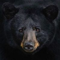 1 ~ 'Gorgeous Black Bear Face.'
