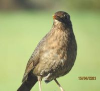 Female Blackbird.