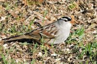 New Arrivals: White-Crowned Sparrow