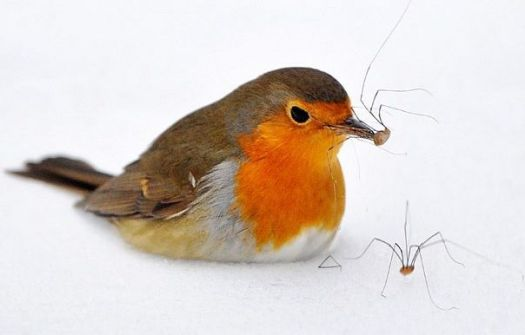 Robin eating spiders - Essen, Germany