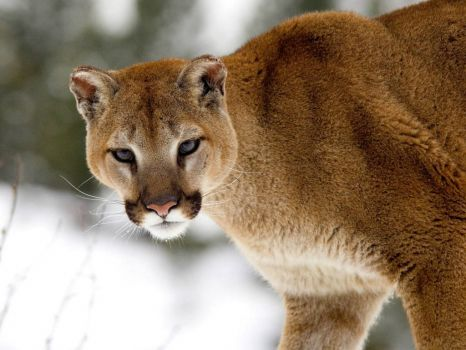 cougar-in-winter
