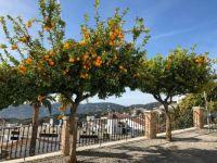 Árvore frutifera na região de Malaga - Espanha