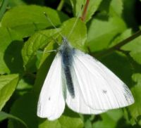 small cabbage white male (klein koolwitje)