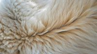 polar bear fur
