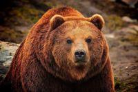 1  ~  Brown Bear.