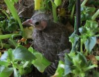 Baby Bird partly fledged