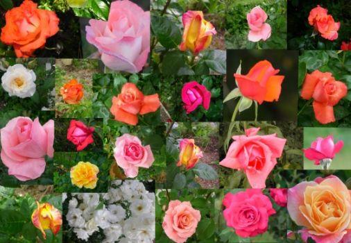 Des roses de toute les couleuts