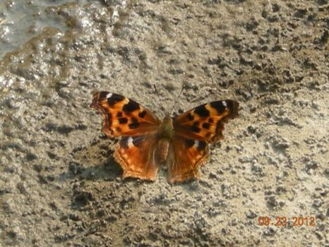 butterfly in the mud