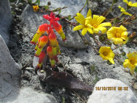 Fynbos Flowers, Spring Cape of Good Hope South Africa