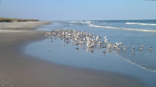 Theme:Seashore - Gulls on the beach, Jekyll Island, Georgia