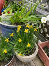 Spring, miniature daffodils