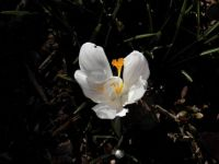 Solitary white crocus sunbathing