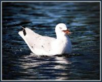 Common Silver Gull being rather vocal!