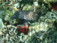 Spotted Eel & Red Coral