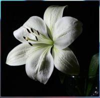 bílá lilie ........