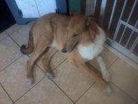 Bear.... my missing Smooth Collie
