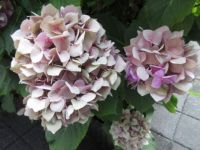 Hydrangea ....from vibrant pink to...