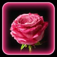 Pinknblack the Perfect Rose