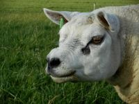 Head of one of our male Texel sheep