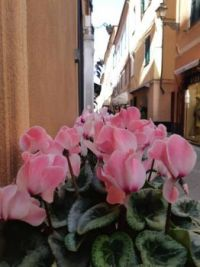 Cyclamen in the streets of Alassio - Italy