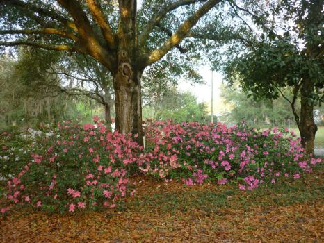 For cmatthews, size as requested --My azaleas yesterday --ENJOY--