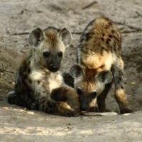 Spotted hyena (Crocuta crocuta) cubs by GalliasM