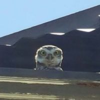 Suprised Owl, at damaged shop bldg